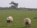 Sheep grazing near the Hellstone - geograph.org.uk - 242199.jpg