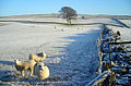 Sheep in a Frosty Field - geograph.org.uk - 638417.jpg