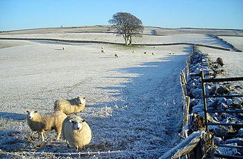 English: Sheep in a Frosty Field Unusually for...