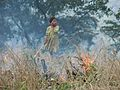 Shifting cultivation Swidden Slash Burn Manmao IMG 9116.jpg
