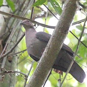Short-billed Pigeon (Patagioenas nigrirostris) (7222830044) (cropped).jpg