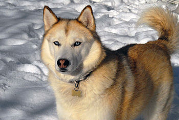 "A ""sable""-coloured Siberian Husky."