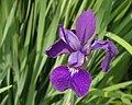 Siberian Iris Iris sibirica Flower 2500px.jpg
