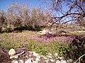 Silene aegyptiaca flowers from kdumim 2019 01.jpg