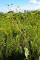 Silphium laciniatum kz04.jpg