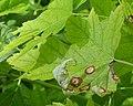 Silver Maple (Acer saccharinum) - Guelph, Ontario 2020-06-07.jpg