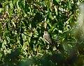 Siva muharica (Muscicapa striata); Spotted Flycatcher.jpg