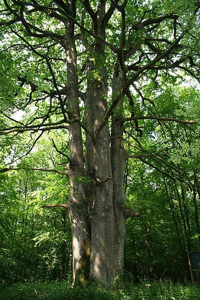 Sessile oak.