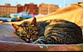Sleeping cat (5825429316).jpg