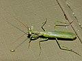 Small Green Mantis (Miomantis binotata) (13819866025).jpg