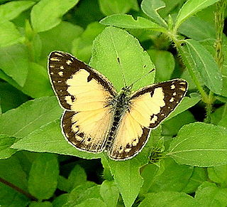<i>Colotis amata</i> species of insect