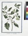 Solanum Officinarum acinis nigricantibus - Solatro volgare - Morelle (NYPL b14444147-1125090).tiff