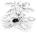 Solanum toberosum ex Strasburger 1900.png