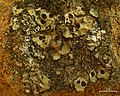 Solorina saccata (4037850150).jpg