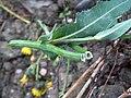 Sonchus arvensis Peltovalvatti C H8990.jpg