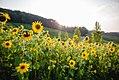 Sonnenblumenfeld neben den Bienenstöcken Naturwiese.jpg