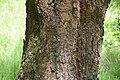 Sophora microphylla in Eastwoodhill Arboretum (6).jpg