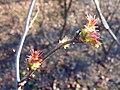 Sorbaria sorbifolia 2017-03-07 5655.jpg