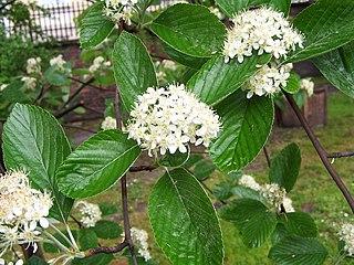 Jarabina mukyňová - listy a kvety