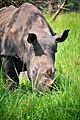 Southern White Rhino, Uganda (16109130332).jpg
