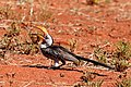 Southern yellow-billed hornbill (Tockus leucomelas) beak open.jpg