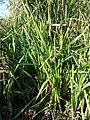 Sparganium erectum subsp. neglectum sl5.jpg