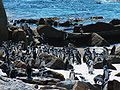 Spheniscus demersus Jackass penguins.jpg