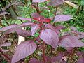Spinach, cheera plant.jpg