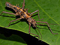 Spiny Stick Insect (Epidares nolimetangere) (15869031402).jpg