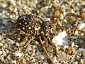 Spiny Weevil (Brachycerus sp.) (12618375514).jpg