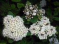 Spiraea fritschiana 2015-06-01 OB 012.jpg