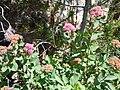 Spiraea splendens (5066470014).jpg