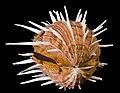 Spondylus.jpg