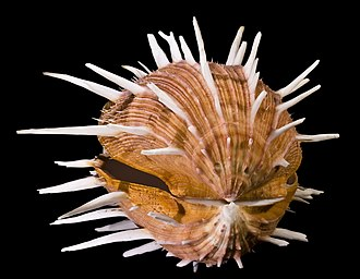 Spondylus - A shell of Spondylus regius