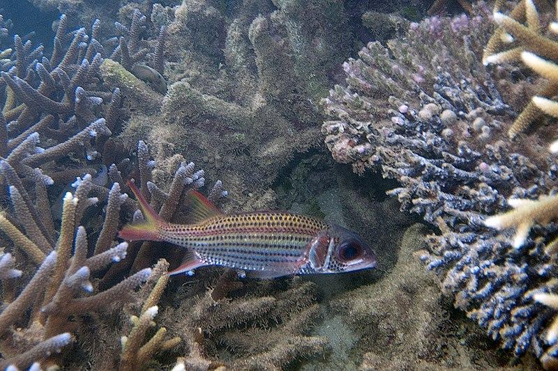 File:Spotfin squirrelfish Neoniphon sammara (5800428816).jpg