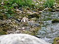 Spotted Forktail - Enicurus maculatus - P1070836.jpg