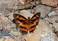 Spotted Jester (Symbrenthia hypselis) (23948897933).jpg