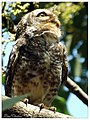 Spotted Owlet (16562093780).jpg