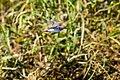 Spotted sandpiper (36852696460).jpg
