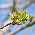 Spring Budding, Minneapolis 5 3 18 -trees (42131416382).jpg