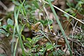 Spring Peeper (19988378999).jpg