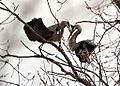 Spring is here for the Herons (8608549018).jpg