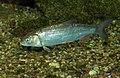 Squalius cephalus Prague Vltava 1.jpg
