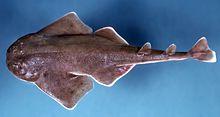 sand devil shark  Sand devil