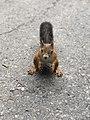 Squirrel, Ekaterinburg, Botanical Garden.jpg