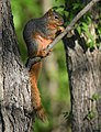 Squirrel (34190347710).jpg