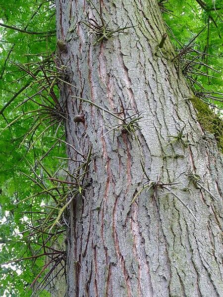 tronc d'arbre du févier