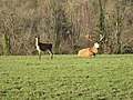 Stag and Doe at Wakehurst Place - geograph.org.uk - 1622270.jpg