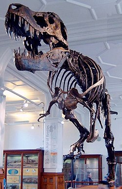 "Cast of a specimen nicknamed ""Stan"" (specimen BHI 3033), at Manchester Museum"