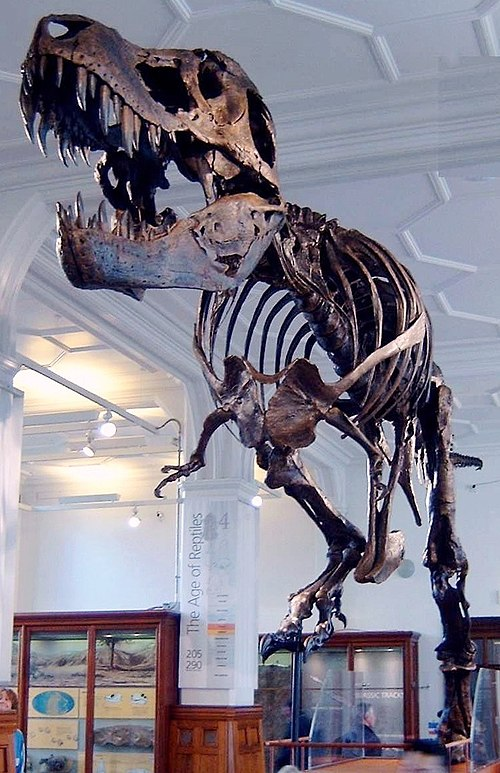 Stan, a reproduction cast of a fossilised Tyrannosaurus rex acquired by the museum in 2004. Stan the Trex at Manchester Museum.jpg
